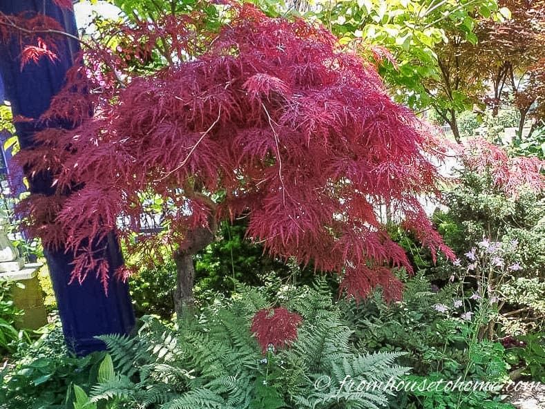 Japanese Maple Crimson Queen