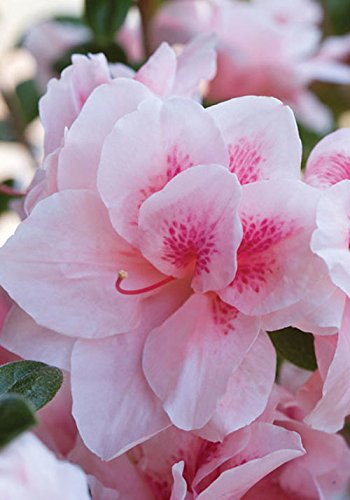 Pink Encore Azalea