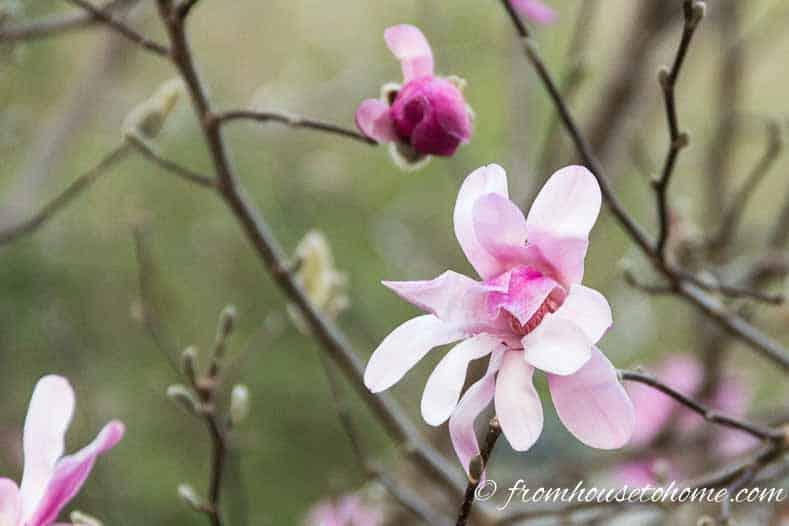 "Magnolia stellata ""Rosea"""