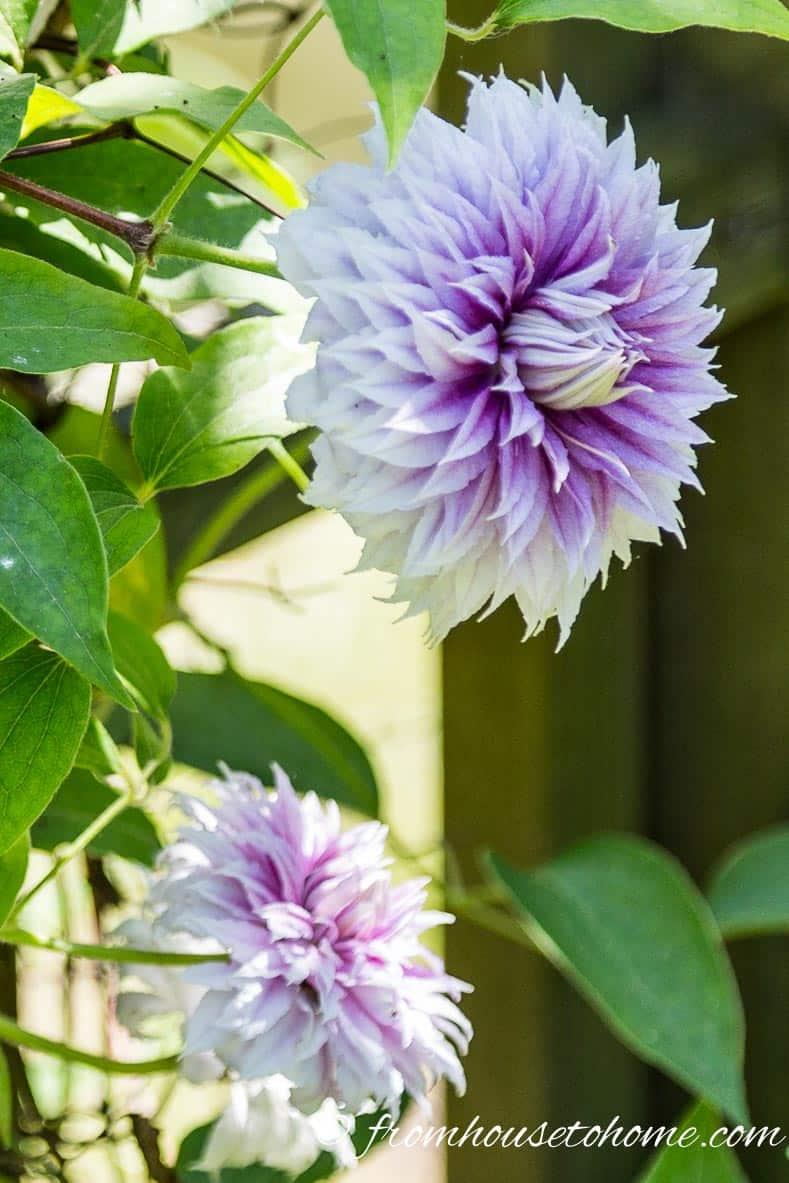 Clematis 'Josephine' - mature blooms