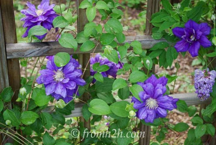 Clematis Pruning Group 2 - Clematis 'Franziska Marie'