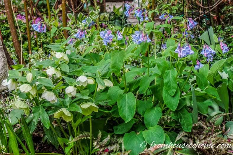 Densely planted hellebores, bluebells and ferns prevent weeds from growing