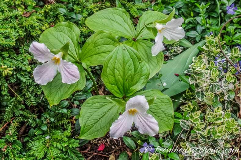 These trilliums will go dormant by July