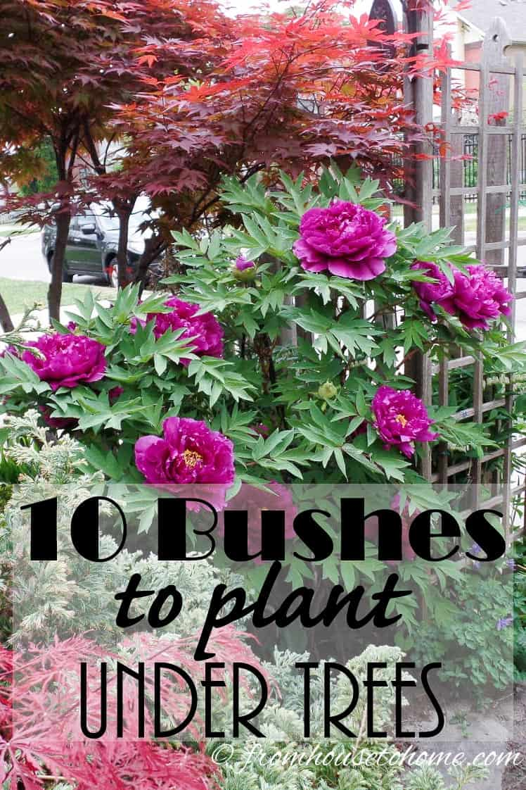 10 Bushes To Plant Under Trees