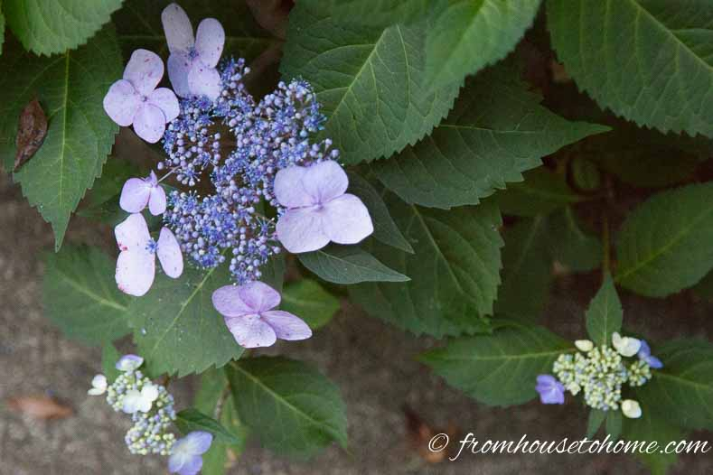 "Hydrangea macrophylla ""Twist 'n Shout"""