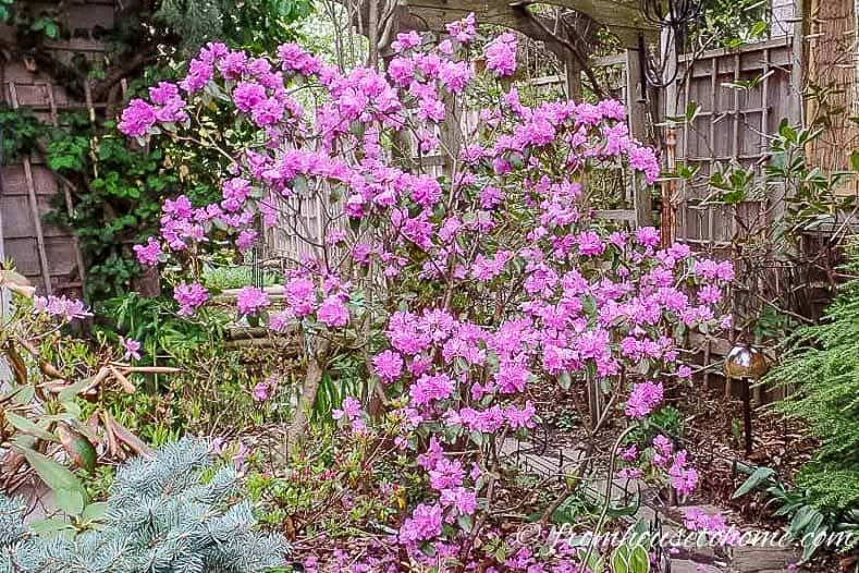 Rhododendron 'PJM' is a beautiful shade loving shrub