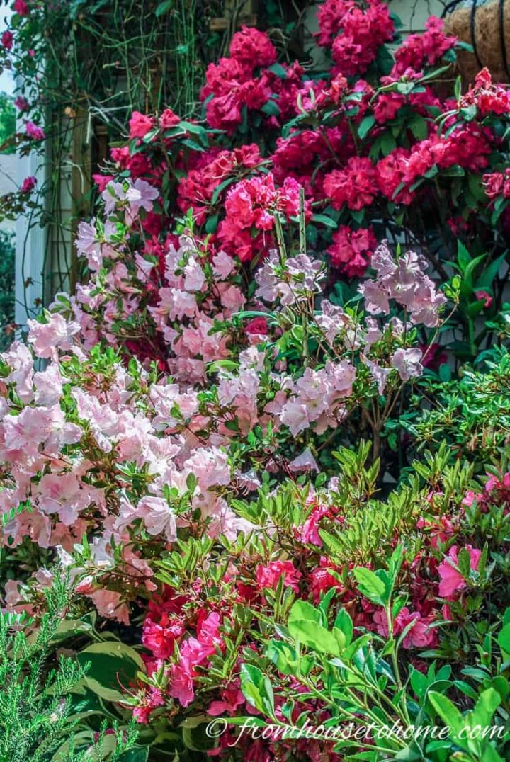 Rhododendron and Azaleas blooming in the garden