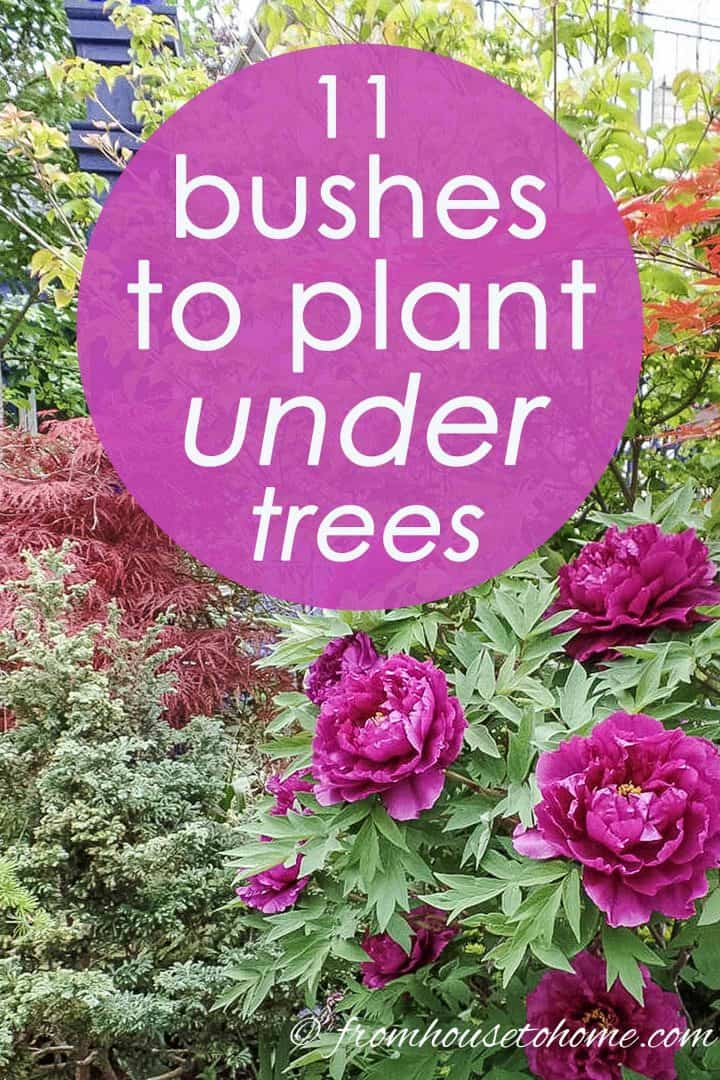 Shade Loving Shrubs: 11 bushes to plant under trees