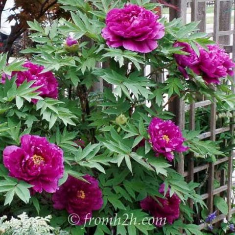 Japanese Tree Peonies