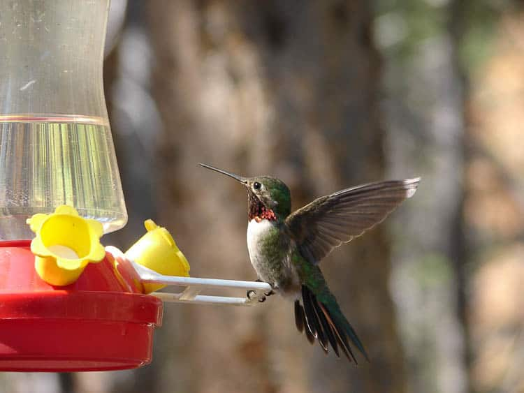 Hummingbird at bird feeder By Michelle Lynn Reynolds - Friend's personal collection, CC BY-SA 3.0