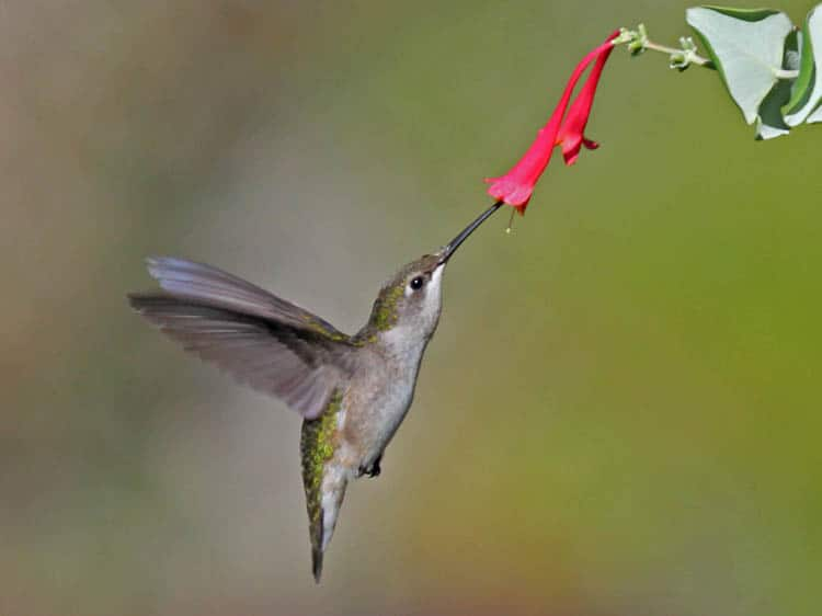 Attract hummingbirds with brightly colored, tubular flowers By Dick Daniels (http://carolinabirds.org/) - Own work, CC BY-SA 3.0