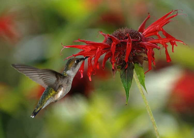 Native plants, like bee balm, provide more nectar for the hummingbirds than hybrid plants By Joe Schneid, Louisville, Kentucky - Own work, CC BY 3.0