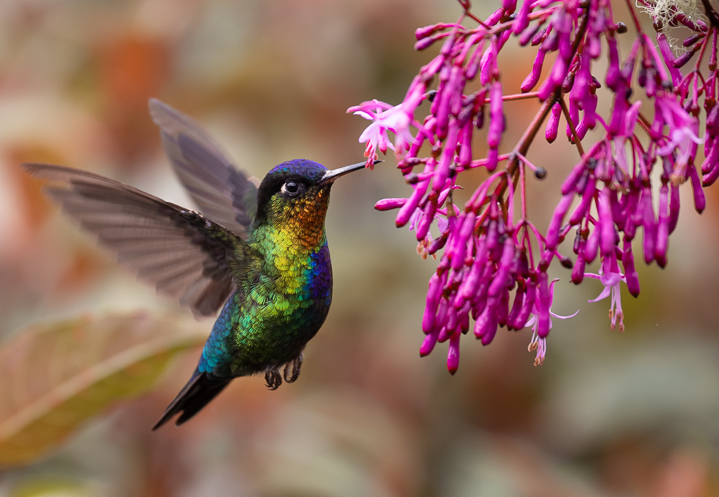 Hummingbird with tubular flowers ©Harry Collins - stock.adobe.com