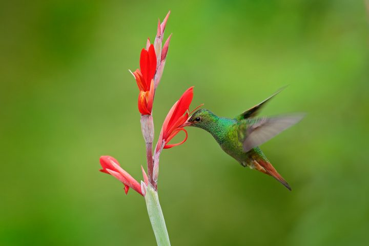 Hummingbird with bright red, tubular flower