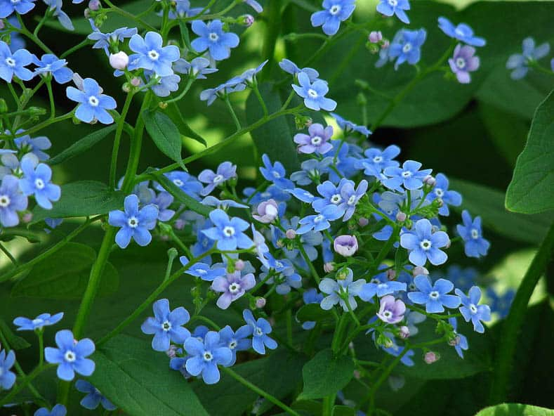 Brunnera macrophylla by Kor!An (?????? ??????) (Own work) [CC BY-SA 3.0 (http://creativecommons.org/licenses/by-sa/3.0)], via Wikimedia Commons