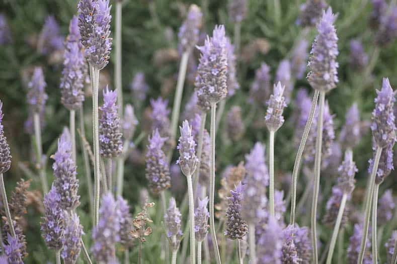 Lavender By Rosina Peixoto (Own work) [CC BY-SA 3.0 (http://creativecommons.org/licenses/by-sa/3.0)], via Wikimedia Commons