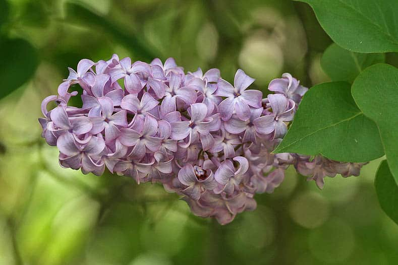 10 Beautiful Perennial Plants With The Most Fragrant Flowers