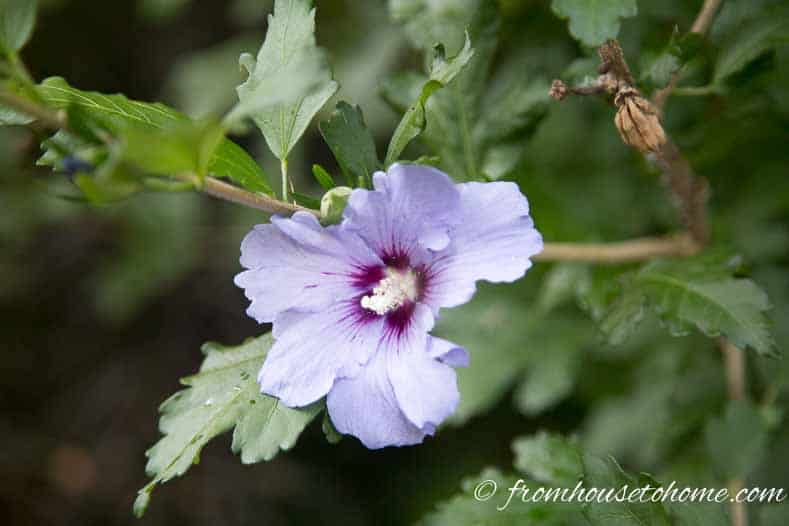 "Rose of Sharon ""Blue Bird"""