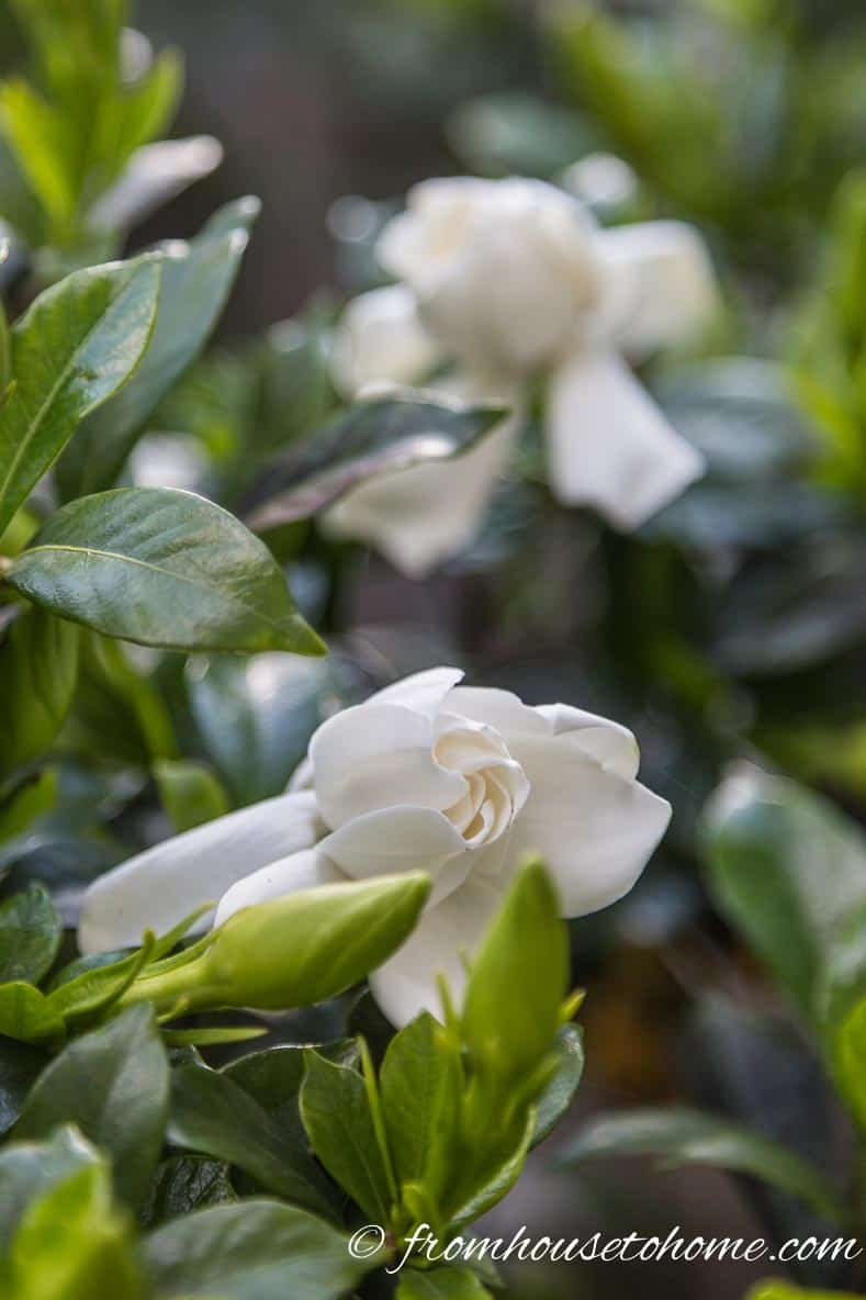 """Gardenia """"Chuck Hayes"""" with white fragrant flowers"""
