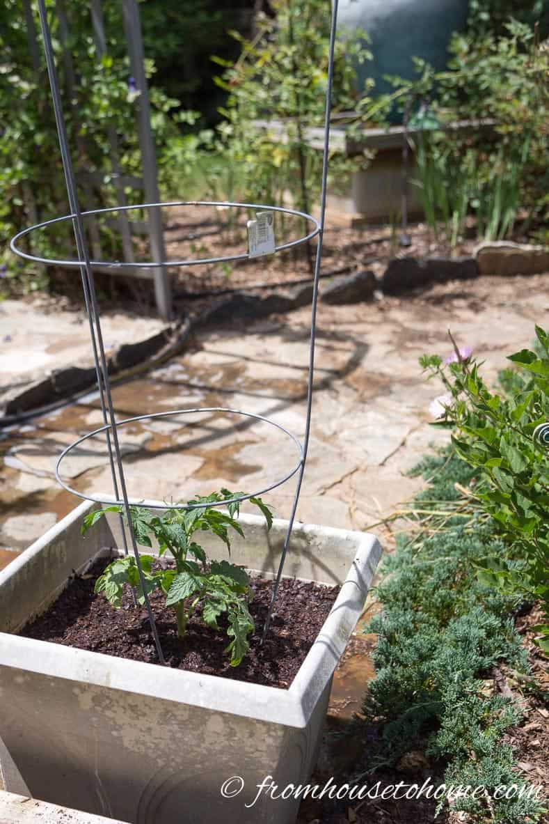 Make sure the tomato plants get at least 6 hours of sun a day