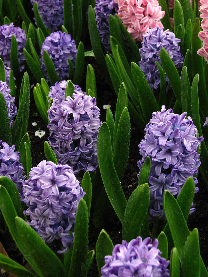 "Hyacinth ""Delft Blue"" By KorAn (Own work) [GFDL (http://www.gnu.org/copyleft/fdl.html) or CC BY-SA 3.0 (http://creativecommons.org/licenses/by-sa/3.0)], via Wikimedia Commons"