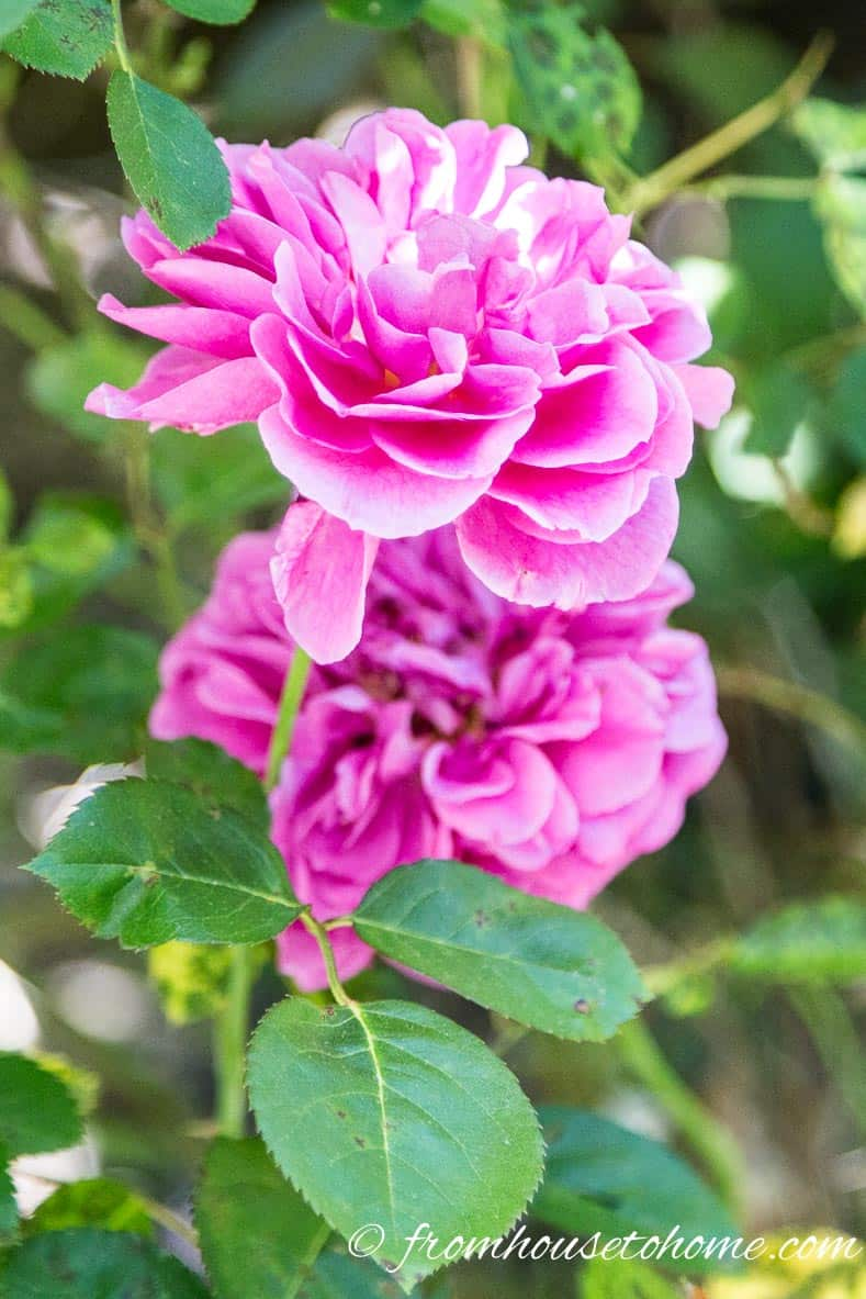 Roses require pruning to keep their shape and encourage blooms