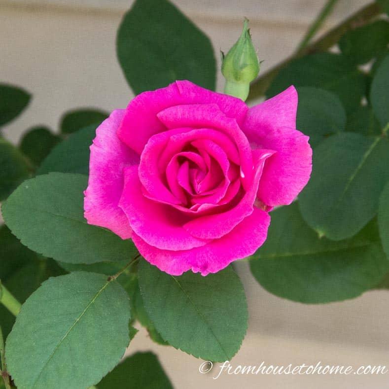 Rose - Zepherine Drouin
