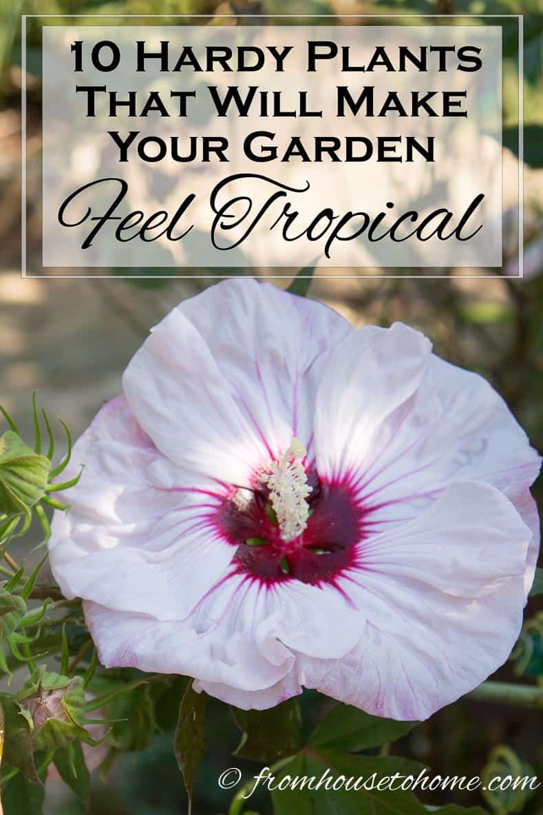 10 Hardy Plants That Look Tropical | Want to create a lush, tropical looking garden but don't live in the tropics? Check out this list of hardy plants that look tropical (but aren't).