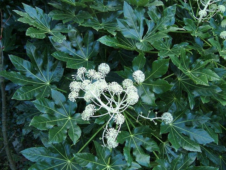 Japanese Aralia (Aralia japonica)