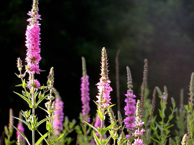 Invasive plants to avoid - Purple Loosestrife by liz west (Flickr: purple loosestrife) [CC BY 2.0 (http://creativecommons.org/licenses/by/2.0)], via Wikimedia Commons | 10 Tips for creating a low maintenance garden
