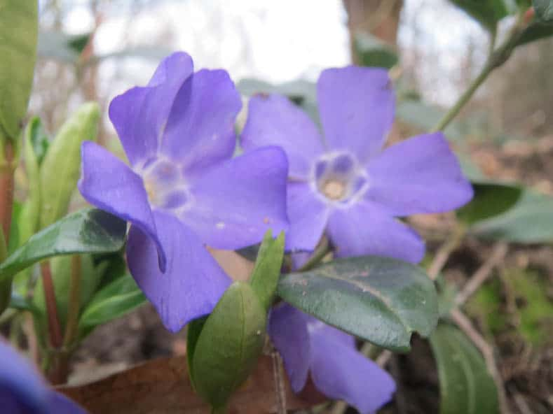 Invasive plants to avoid - Periwinkle (Vinca Minor) by AnRo0002 (Own work) [CC0], via Wikimedia Commons | 10 Tips for creating a low maintenance garden
