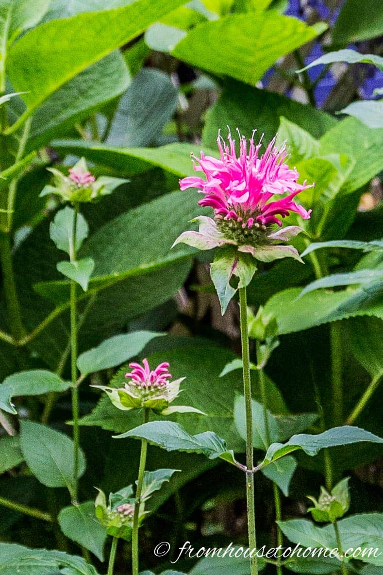 Plant native plants - Bee Balm (Monarda) | 10 Tips for creating a low maintenance garden