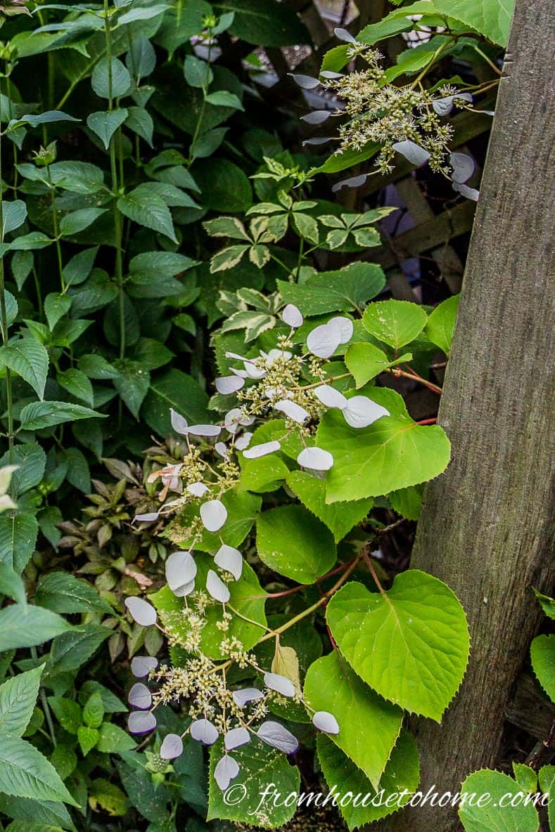 Climbing hydrangea | 10 Hardy Plants That Look Tropical