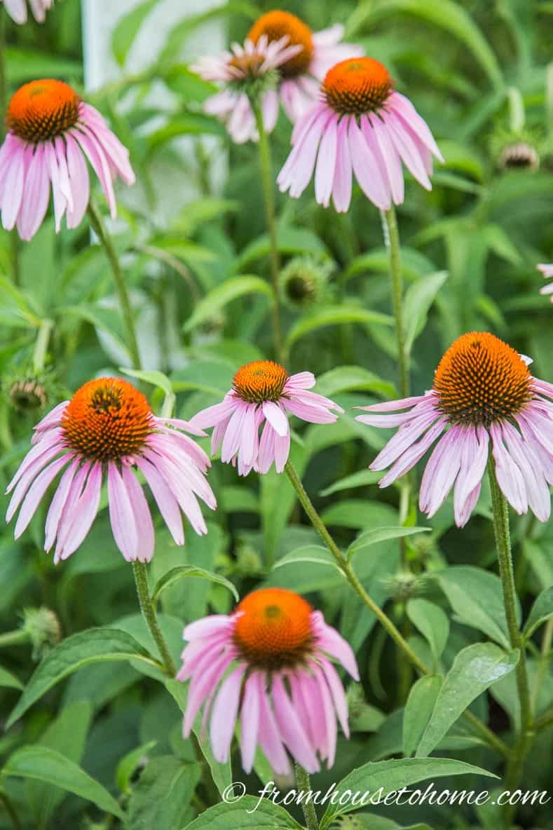 Plant native plants - Coneflower (Echinacea) | 10 Tips for creating a low maintenance garden