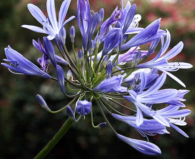 Agapanthus By Hedwig Storch, via Wikimedia Commons