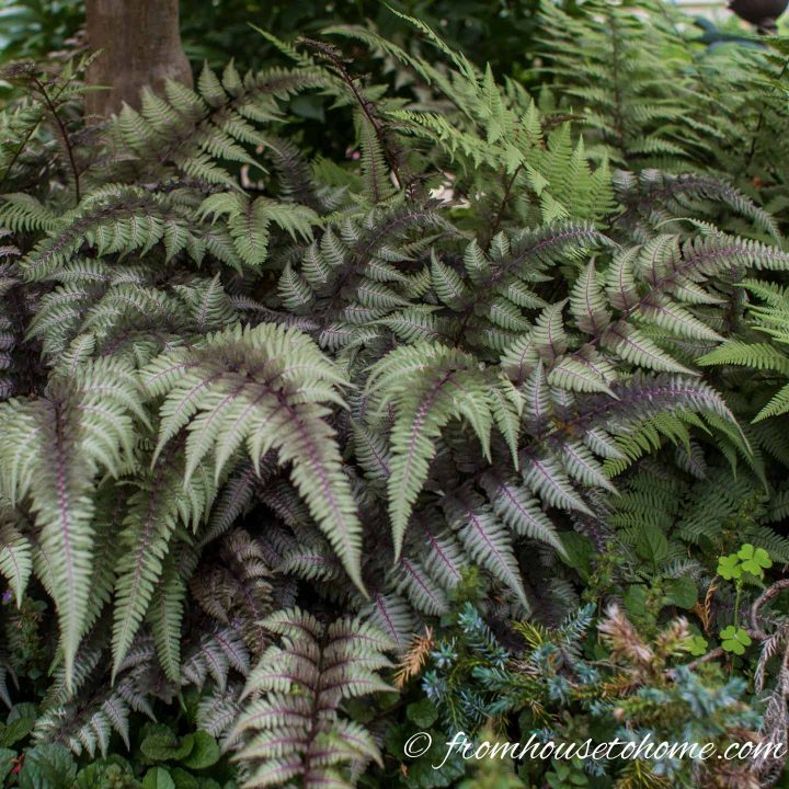 Japanese Painted Fern and Ghost Fern