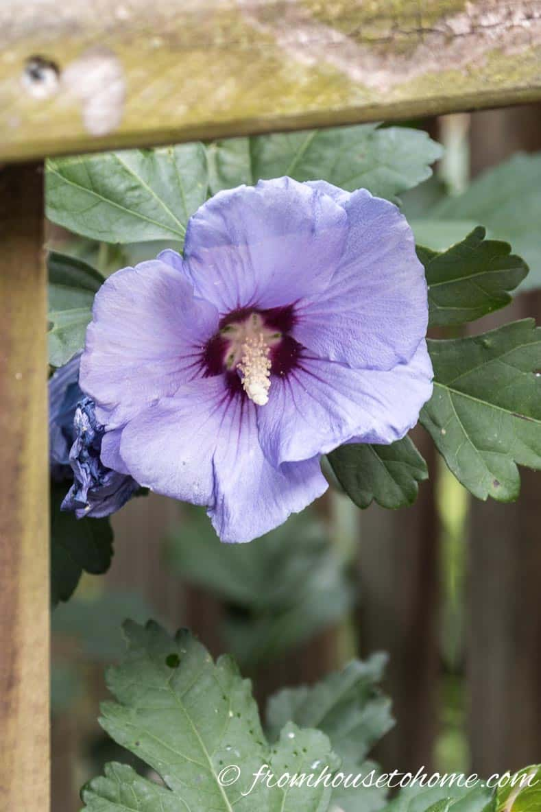 "Hibiscus syriacus ""Blue Bird"" 