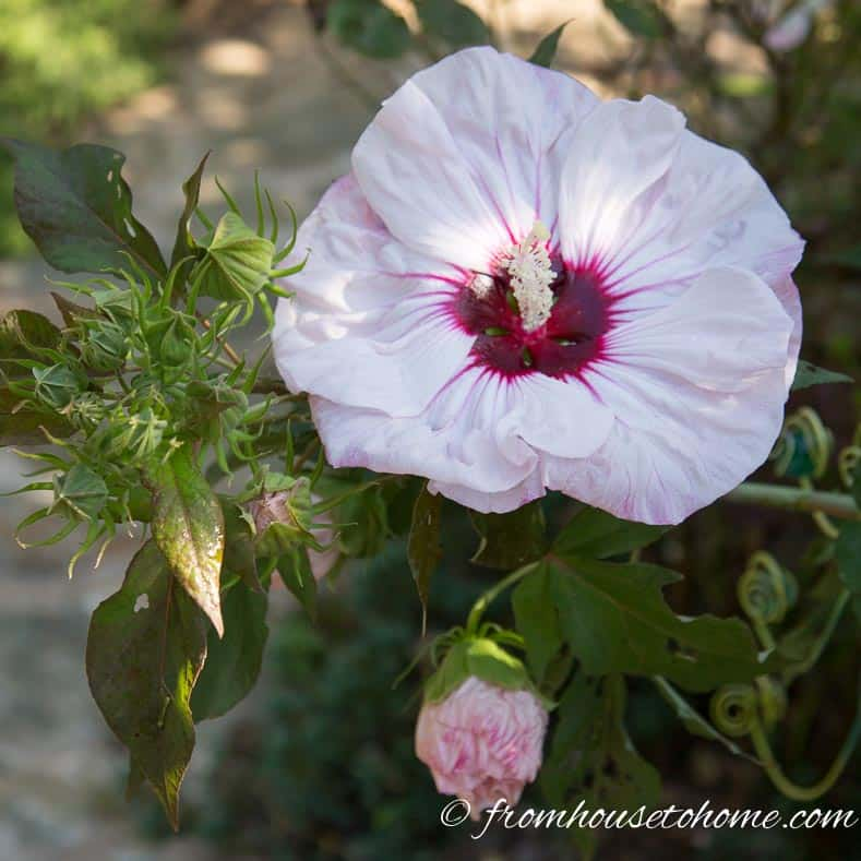 "Hibiscus moscheutos ""Kopper King"" 