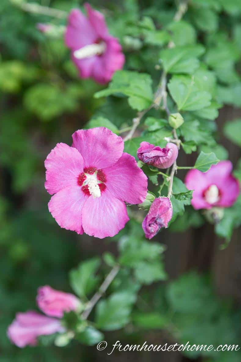 "Hibiscus syriacus ""Lil Kim"" 
