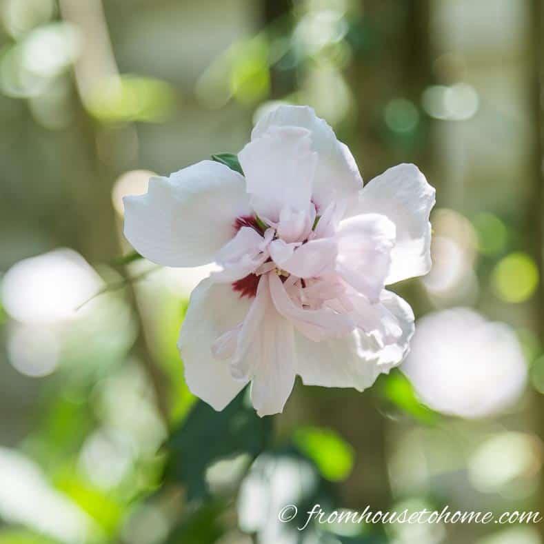 "Hibiscus syriacus ""Pink Chiffon"""
