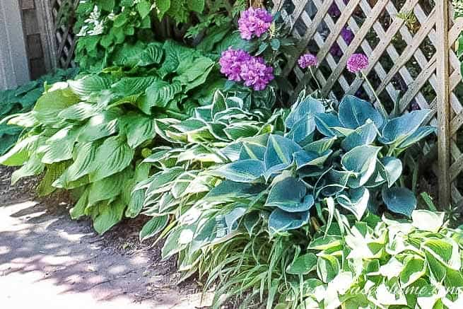 Hostas grouped together create a lush ground cover