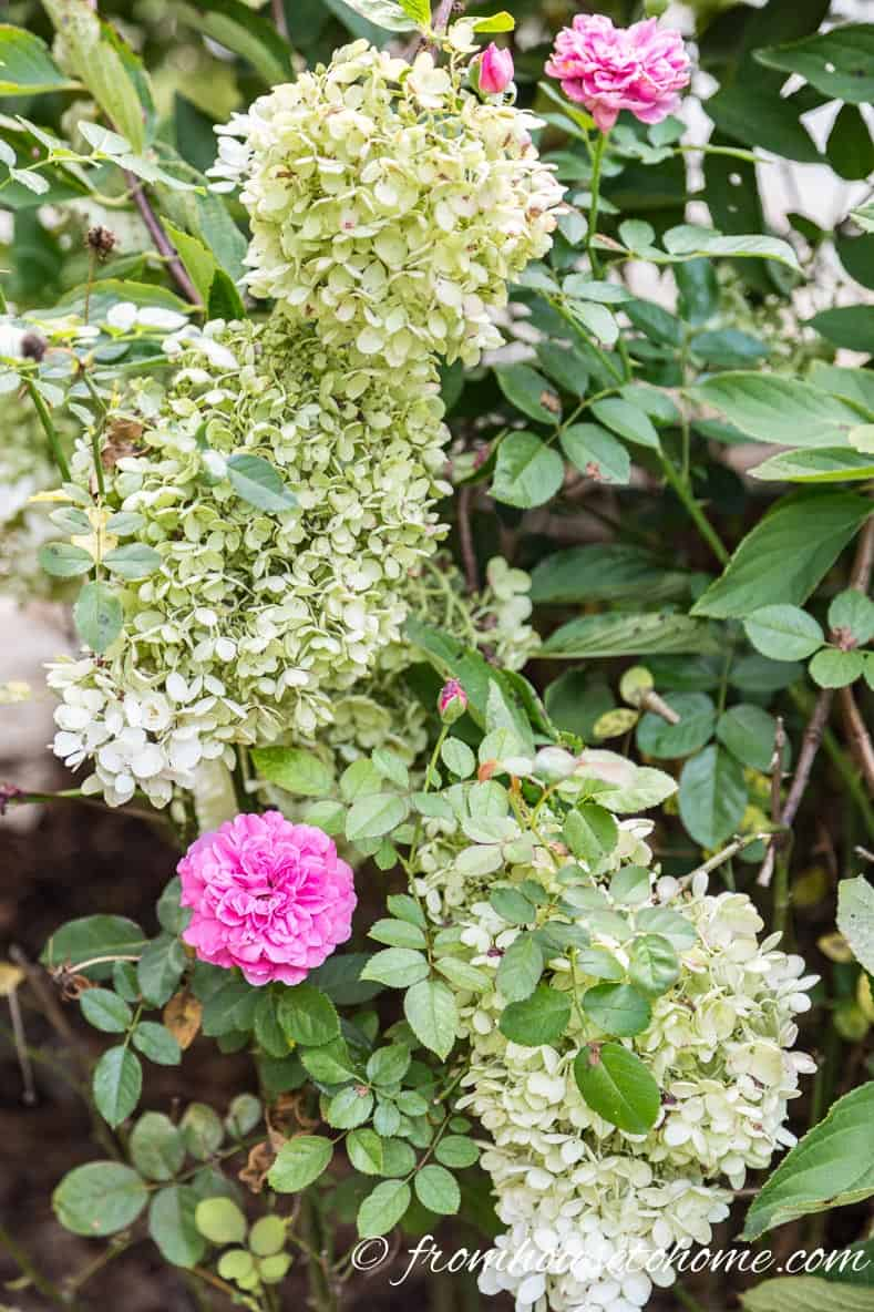 Hydrangeas and roses growing together | 10 Tips for creating a low maintenance garden