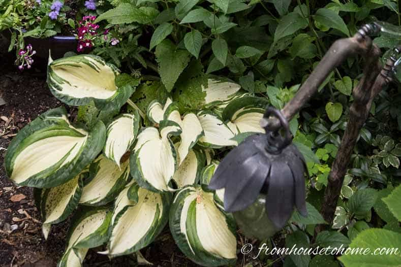 Variegated hosta | 10 Hardy Plants That Look Tropical
