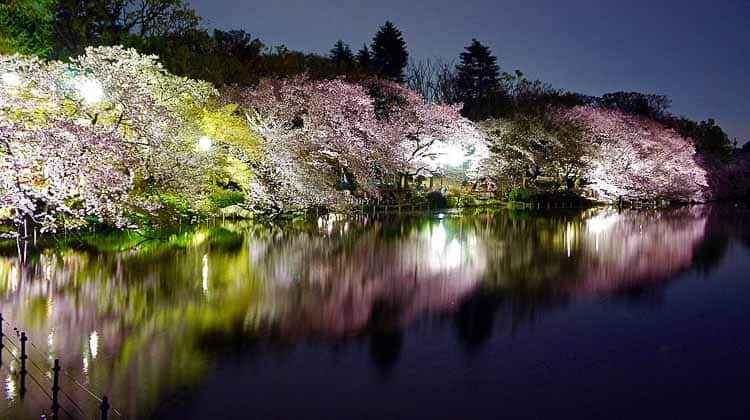 Inokashira Park Cherry blossoms By Manish Prabhune (Own work) [CC BY-SA 4.0 (http://creativecommons.org/licenses/by-sa/4.0)], via Wikimedia Commons | 8 Landscape Lighting Effects And How To Use Them | Whether you're looking for DIY landscape lighting ideas for your front yard, backyard or walkway, this list will help! It shows you lots of ways to use both low voltage and solar lights in your garden or patio.
