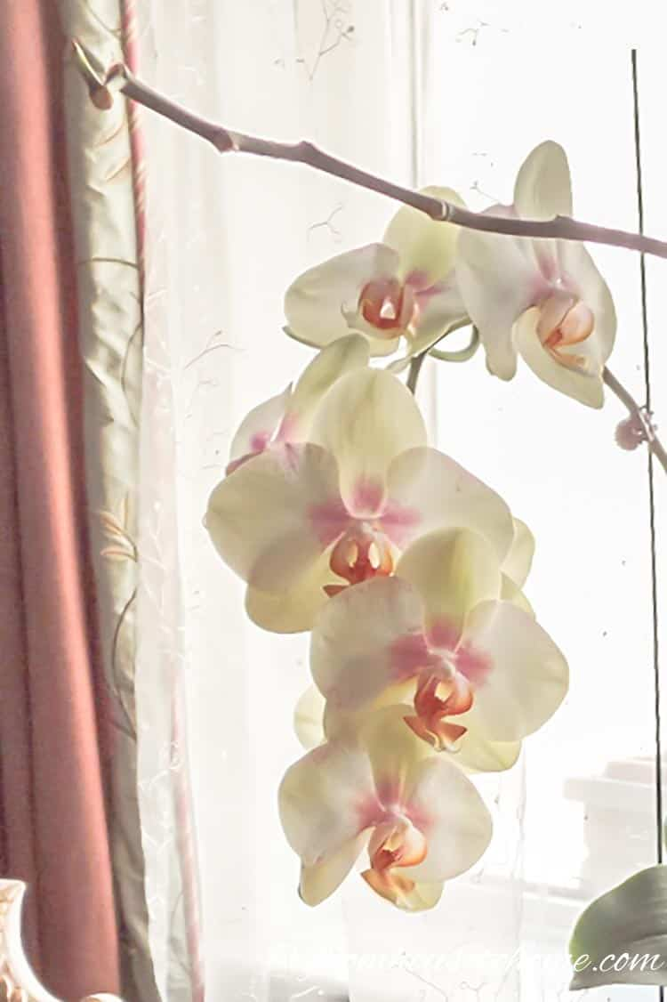 Don't cut off the stem until it turns completely brown, since it may produce a second stem | 7 Surprising Things You Didn't Know About Caring For Orchids