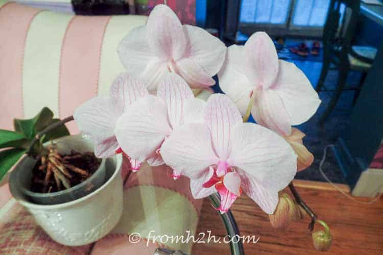 Do not fertilize an orchid that is in bud or bloom | 7 Surprising Things You Didn't Know About Caring For Orchids