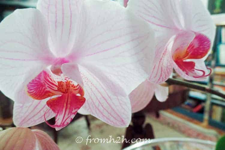 Orchids will come back year after year | 7 Surprising Things You Didn't Know About Caring For Orchids