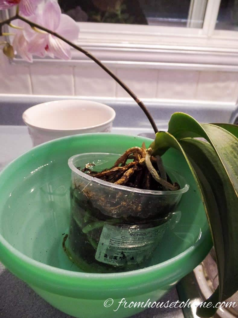 Dunk the orchid in water | 7 Surprising Things You Didn't Know About Caring For Orchids