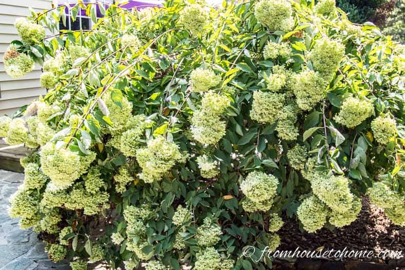 Hydrangea paniculata blooms on new wood