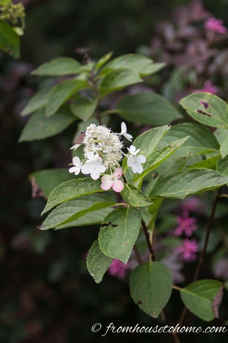 "Hydrangea paniculata ""Vanilla Strawberry"""